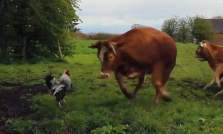 Đàn bò chịu thua trước gà trống