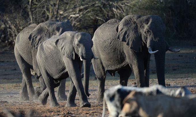 Đàn voi ở ngoại ôMaun, Botswana. Ảnh: Bloomberg.