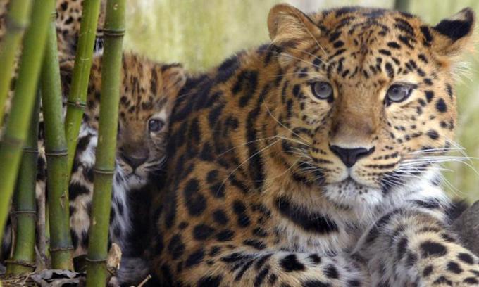 Báo Amur, sinh vật thuộc nhóm cực kỳ nguy cấp trong Sách Đỏ của Liên minh Bảo tồn Thiên nhiên Quốc tế. Ảnh: CNN.