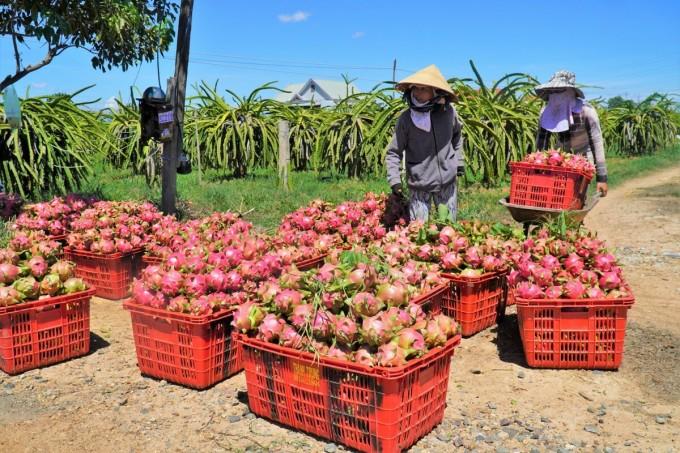 Nông dân huyện Hàm Thuận Bắc thu hoạch thanh long chuyển ra đường chờ thương lái đến mua. Ảnh: Việt Quốc.