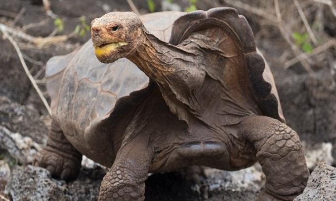 Rùa Diego có công lớn giúp chương trình nhân giống rùa thành công. Ảnh: Science Alert.