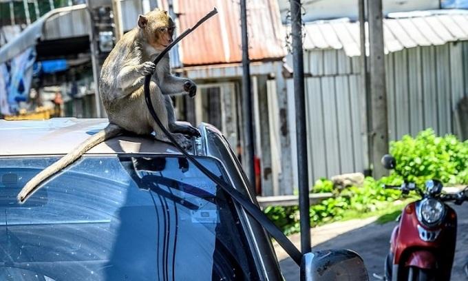 Khỉ giật đệm cao su ở cửa ôtô. Ảnh: AFP.