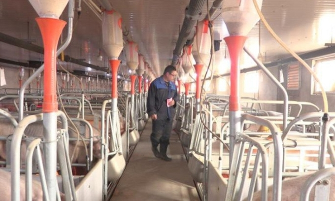 Trang trại chăn nuôi lợn ở tỉnh Hà Bắc, Trung Quốc, năm 2018. Ảnh: Sun Dawu.