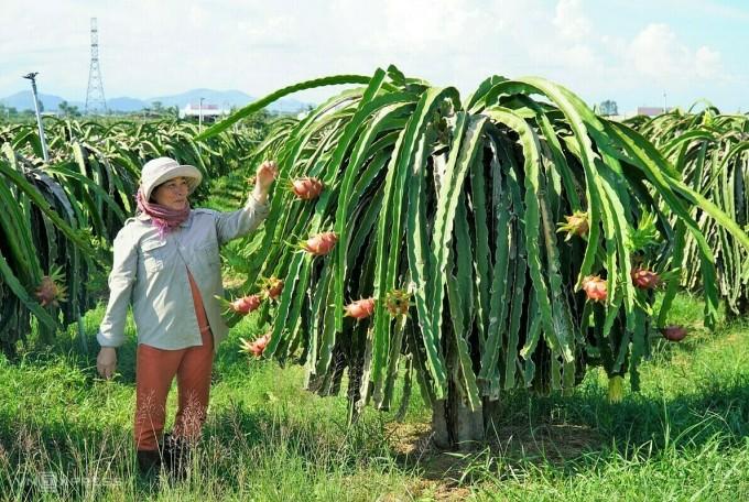 Chị Nguyễn Thị Liên, xã Hàm Mỹ (huyện Hàm Thuận Nam) ra thăm vườn thanh long sắp thu hoạch, chiều 6/7. Ảnh: Việt Quốc.