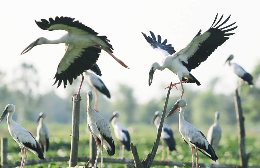 Đàn chim di cư đậu kín sông