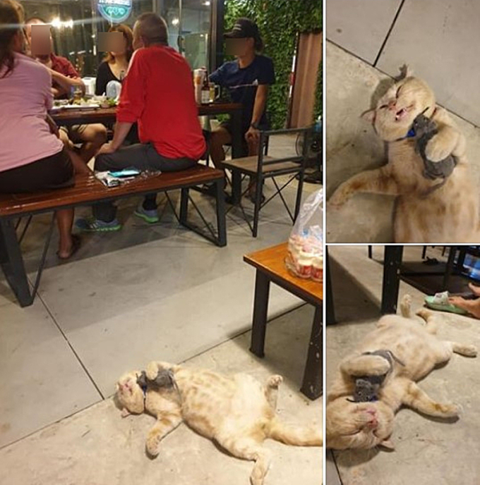 Mua mèo về trông quán, anh chủ tiu nghỉu khi gặp phải thần ngủ