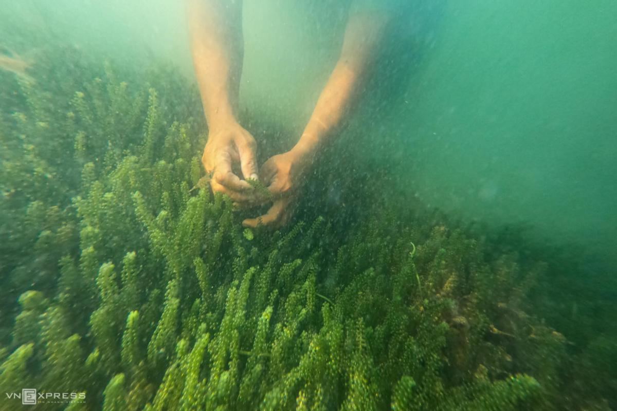 Ngụp lặn dưới biển thu hoạch rong nho