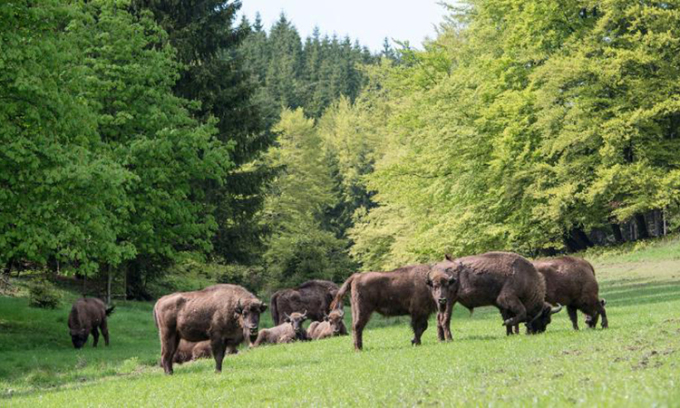 Bò rừng bison châu Âu là niềm hy vọng giúp Anh phục hồi thiên nhiên. Ảnh: CNN.