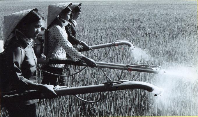 Nông dân xã Tam Hiệp (Châu Thành, Tiền Giang) phun thuốc diệt rầy nâu năm 1978. Ảnh tư liệu: Trần Biểu.