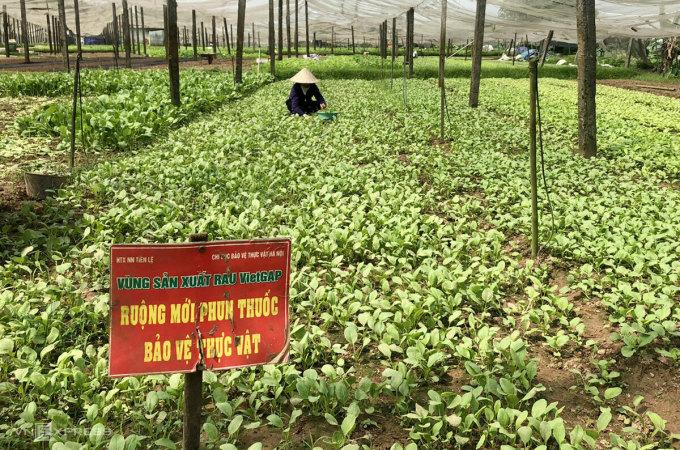 Ruộng rau mới phun thuốc sinh học được cắm biển cảnh báo. Ảnh: Hoàng Phương.