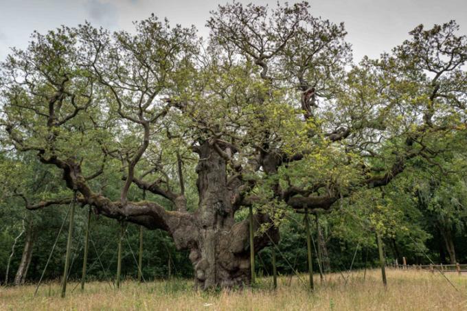 Cây sồi Vĩ Đại đã sống khoảng 1.000 năm, ước tính nặng 23 tấn. Ảnh: BBC.