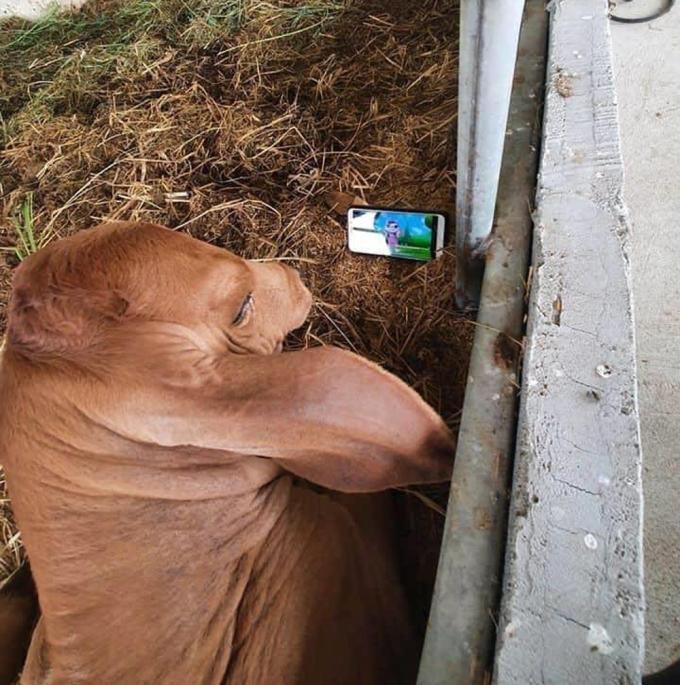 Bò nằm xem hoạt hình trên điện thoại - 2