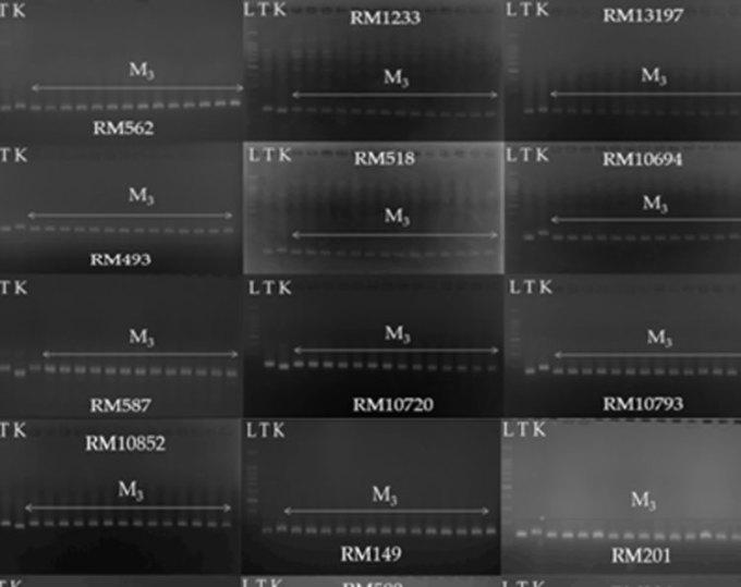 Kỹ thuật PCR cho thấy các chỉ thị phân tử liên quan đến một số đặc tính nông học hoàn toàn được di truyền theo dòng mẹ, không tạo nên sự phân ly ở thế hệ M3.