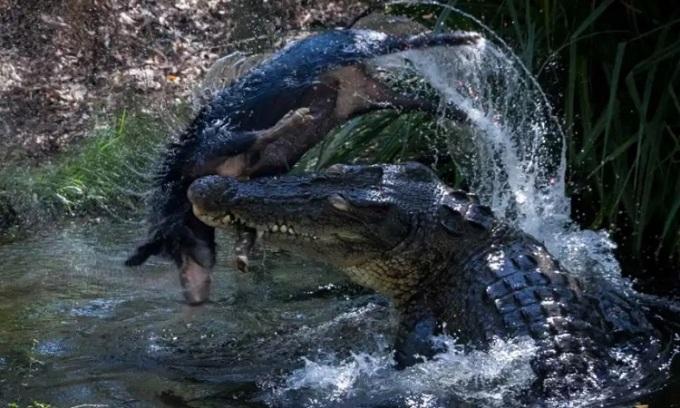 Cá sấu nước mặn chia nhỏ xác lợn. Ảnh: Sun.