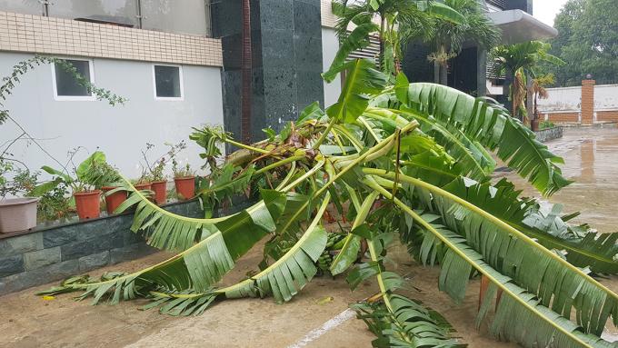 Bão Sinlaku gây gãy đổ ít cây cối ở TP Thanh Hoá lúc đổ bộ trưa nay. Ảnh: Lê Hoàng.