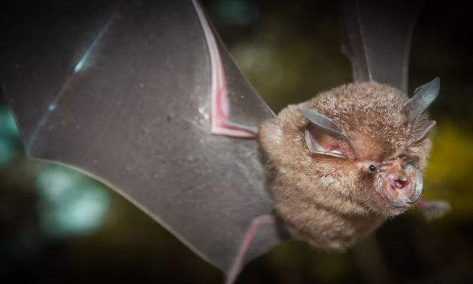 The nCoV ancestor has been in bats for 70 years