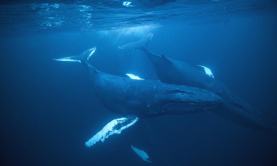 Thợ lặn bị thương nặng do kẹt giữa đôi cá voi lưng gù
