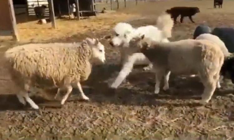 Chó can ngăn cuộc chiến của cừu