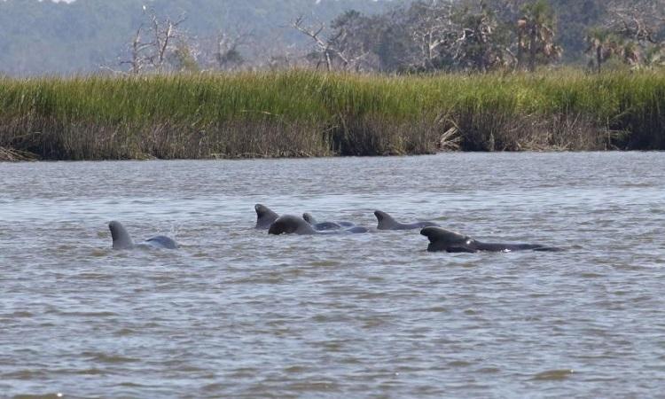 Đàn cá voi hoa tiêu dạt vào bờ do bão