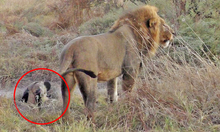 Chó hoang giả chết lừa cả đàn sư tử