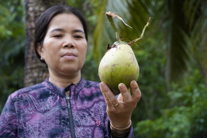 Dừa ca cao được thương lái tại Giồng Trôm mua với giá 500 đồng một trái. Ảnh: Hoàng Nam