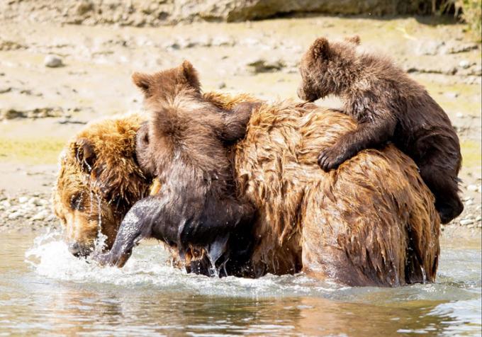 Gấu mẹ cõng đàn con sang sông. Ảnh: Pattie Walsh.