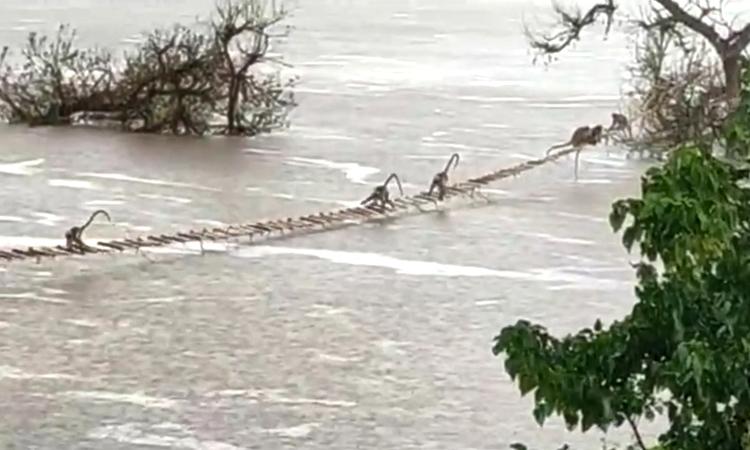 Đàn khỉ hơn 50 con dùng thang dây qua sông