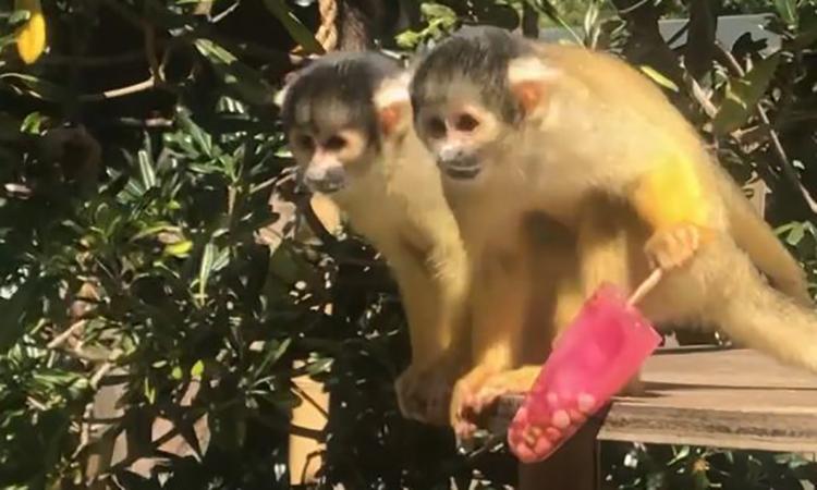 Nắng nóng 36°C, khỉ tranh nhau ăn kem giải nhiệt