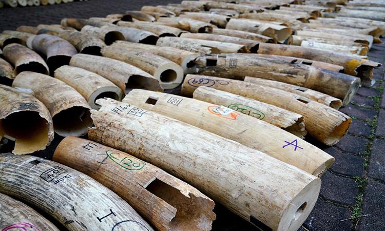 Singapore nghiền nát 9 tấn ngà voi trị giá 13 triệu USD