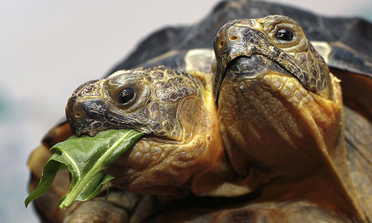 Rùa hai đầu sống lâu nhất thế giới
