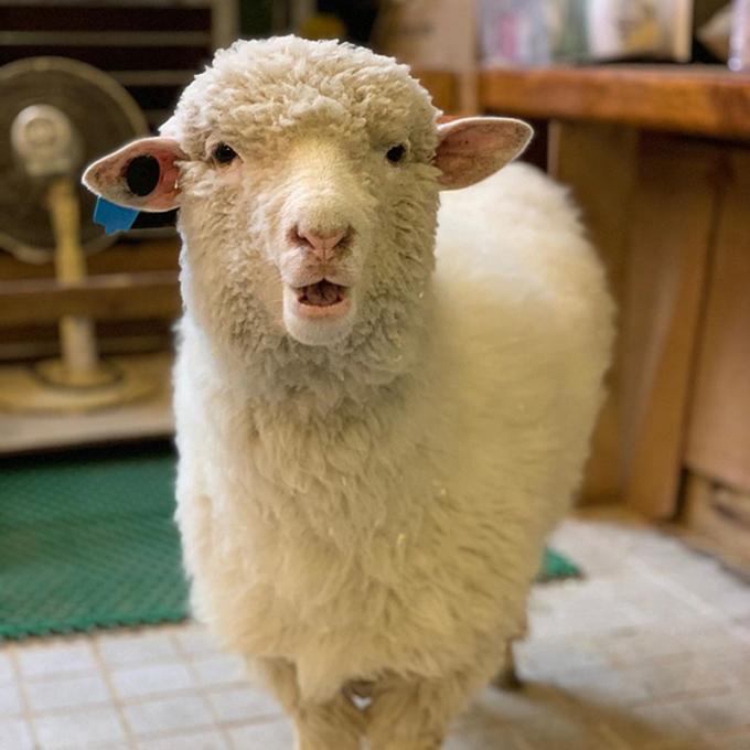 Cừu lột xác ngoạn mục sau khi tắm - 14