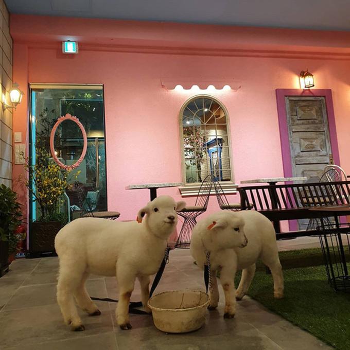 Hai chú cừu ở đây có tên gọi là William và Bentley...