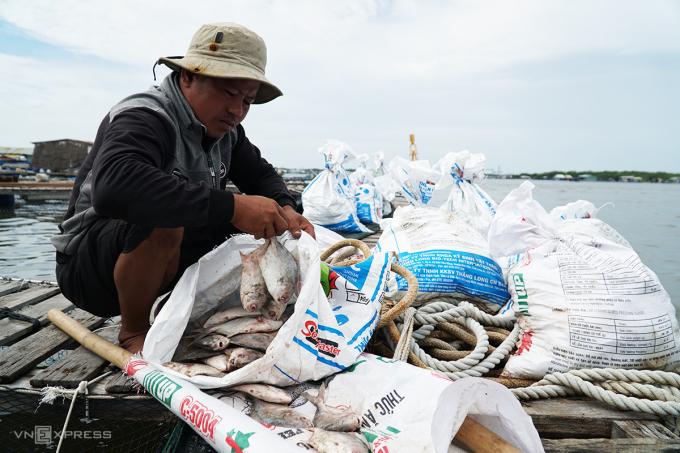 Ông Nguyễn Văn Vinh cho số cá chim chết đã trương phình vào bao tải chở lên bờ vứt bỏ. Ảnh: Trường Hà.