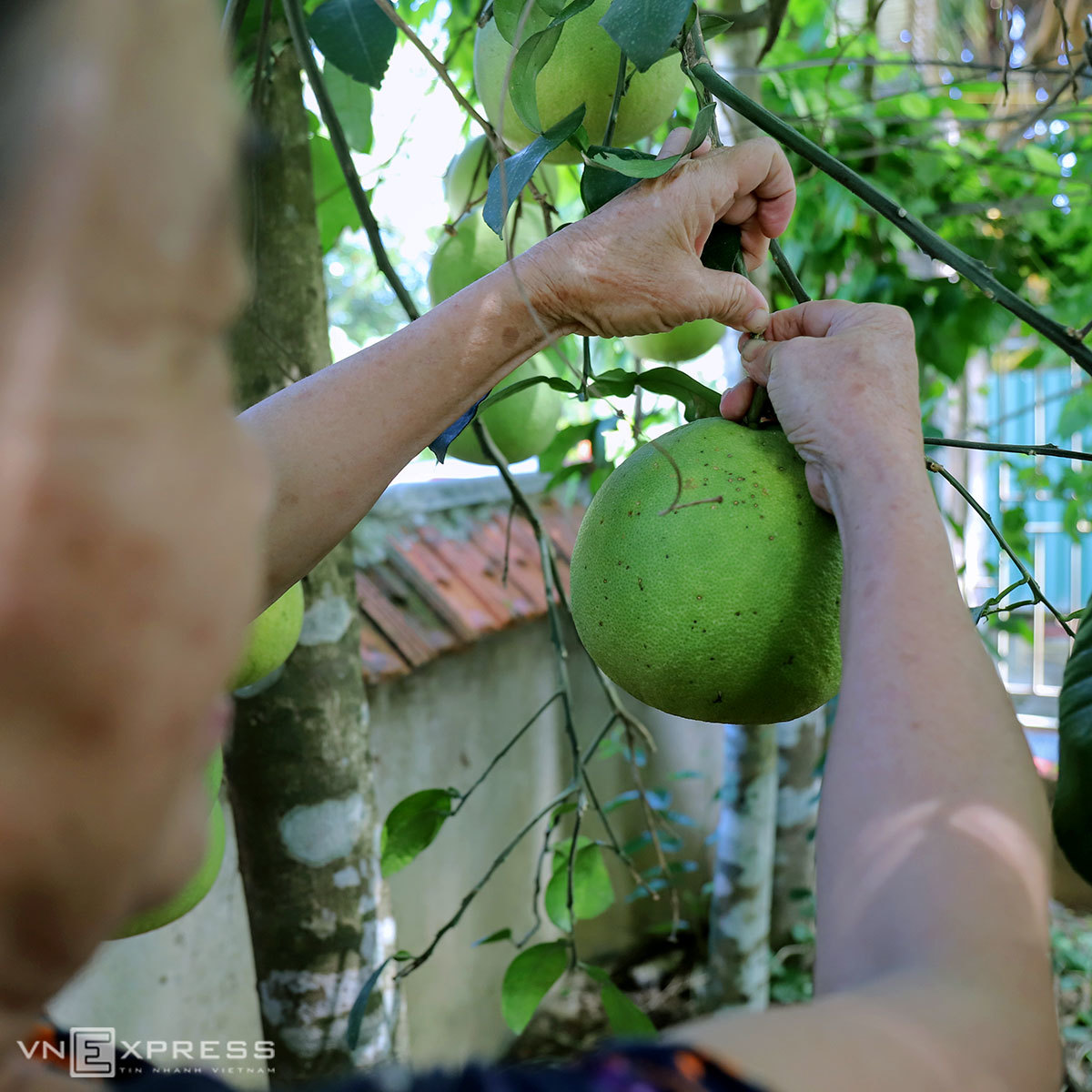 Bưởi Phúc Trạch vào mùa thu hoạch
