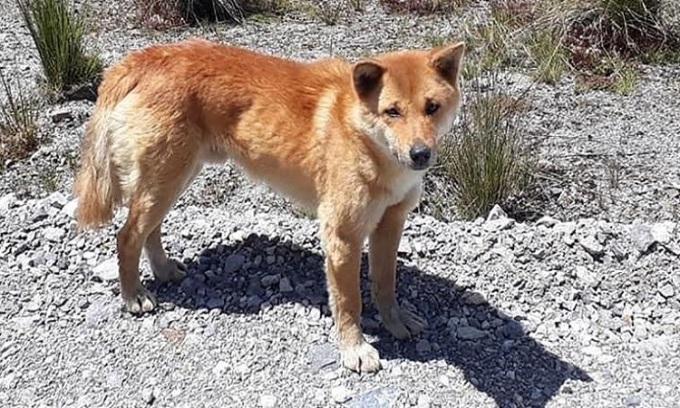 Chó biết hát ở gần mỏ Grasberg tại Papua. Ảnh: CNN.