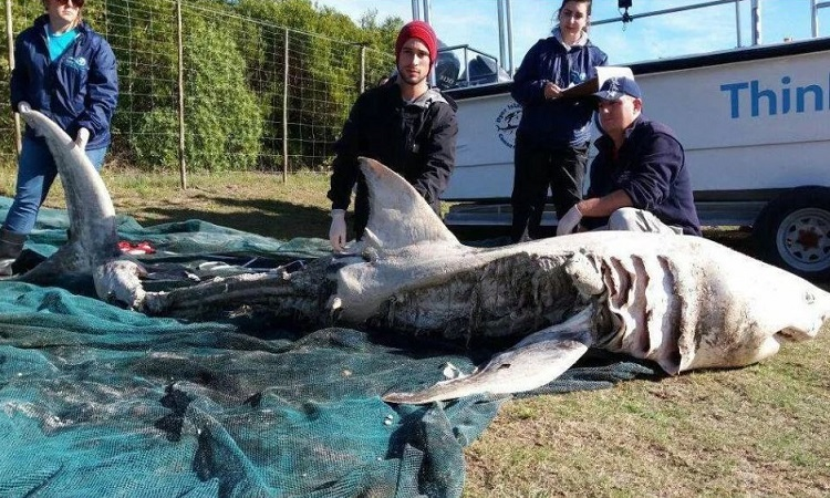Chiến thuật rạch bụng cá mập trắng của cá voi sát thủ