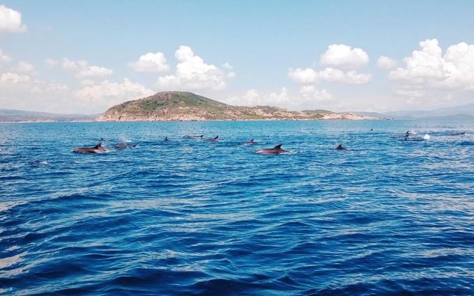 Đàn cá heo xuất hiện trên vùng biển huyện Tuy An, Phú Yên, hôm 12/9. Ảnh: Minh Nhã.