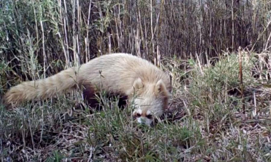 Bẫy camera bắt gặp gấu trúc đỏ bạch tạng quý hiếm
