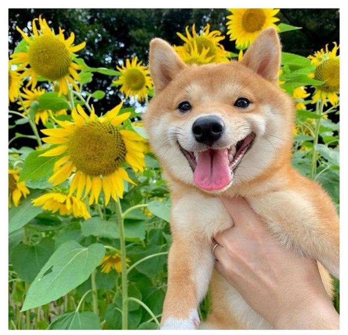Chó Shiba nổi tiếng vì hay cười - 20