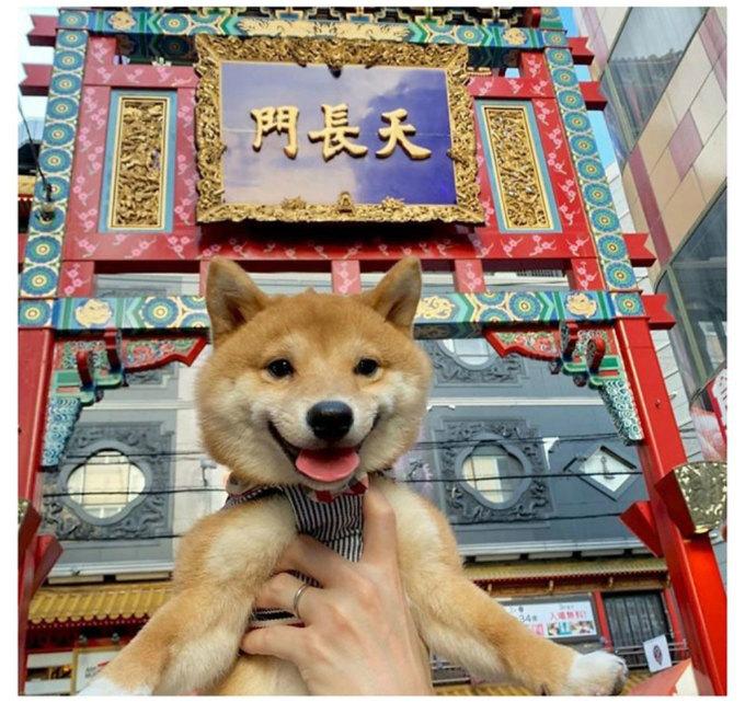 Chó Shiba nổi tiếng vì hay cười - 22