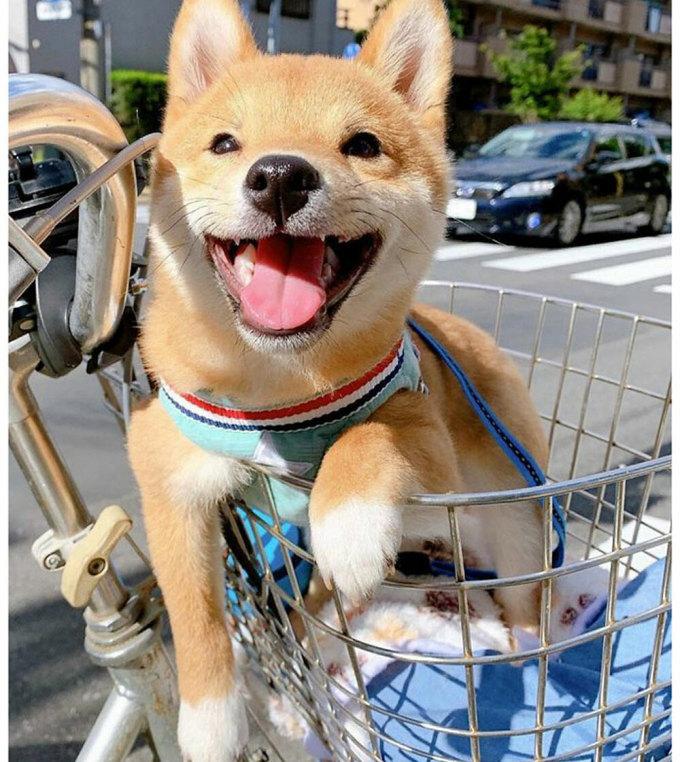 Chó Shiba nổi tiếng vì hay cười - 12