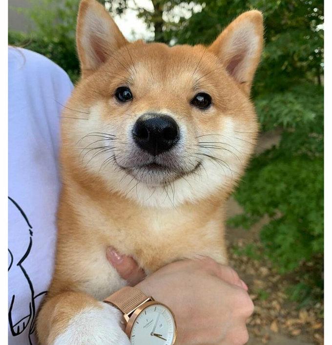 Chó Shiba nổi tiếng vì hay cười - 16