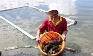 Hơn 1.000 tấn cá mú tồn trong ao nuôi ở Cam Ranh