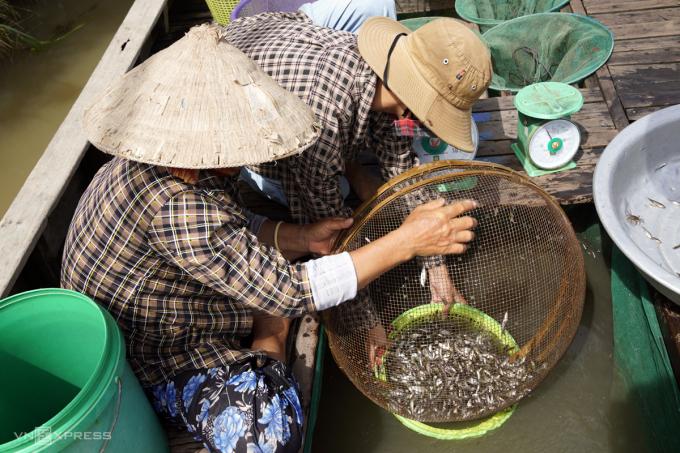Vợ chồng ông Cao Văn Bi bán cá linh cho thương lái, năm nay lũ nhỏ, 7 miệng dớn, ông Bi bắt mỗi ngày chưa được 10 kg cá. Ảnh: Hoàng Nam.