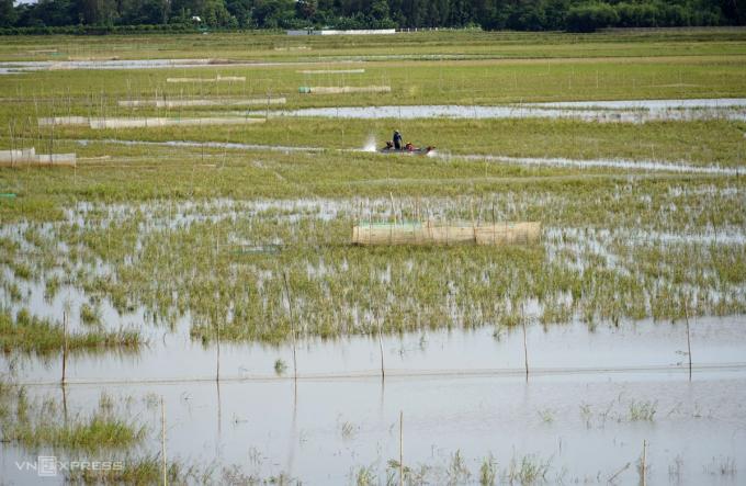 Lũ thấp, cánh đồng thượng nguồn ở Vĩnh Hội Đông (An Phú, An Giang) nước chưa ngập hết gốc rạ. Ảnh: Hoàng Nam.