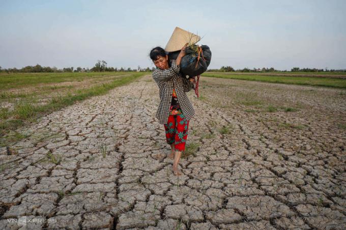 Trên cánh đồng bão hạn mặn tấn công hồi tháng 3, bà Nguyễn Thị Kim Trang (48 tuổi, ở Ba Tri, Bến Tre) gom những gốc lúa, cỏ dại nhiễm mặn cho bò ăn. Ảnh: Hữu Khoa.
