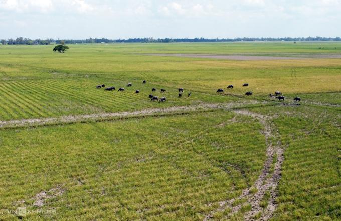 Những năm trước, cánh đồng (Hưng Điền, Tân Hưng, Long An) mùa này đã ngập nước, đàn trâu phải len sang vùng gò Campuchia, còn bây giờ, đồng vẫn cạn khô, đất nứt nẻ. Ảnh: Hoàng Nam.
