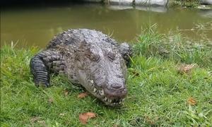 Cá sấu có mặt khi được gọi tên