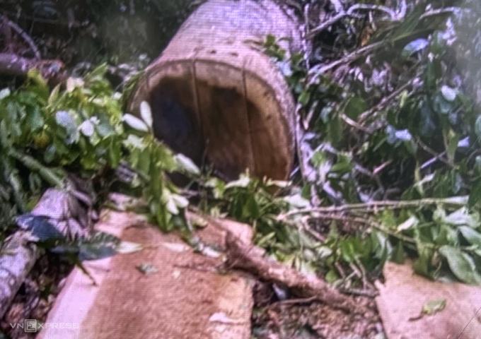 Những cây gỗ bị đốn hạ. Ảnh: Người dân cung cấp.