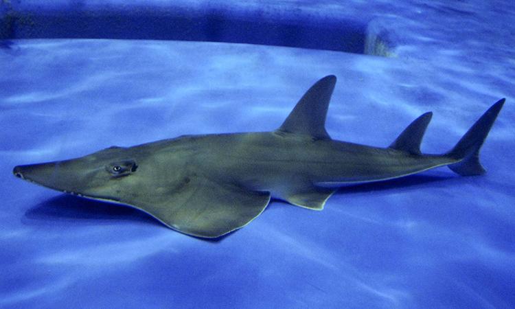 Phát hiện loài cá đuối mới trong thủy cung Nhật Bản